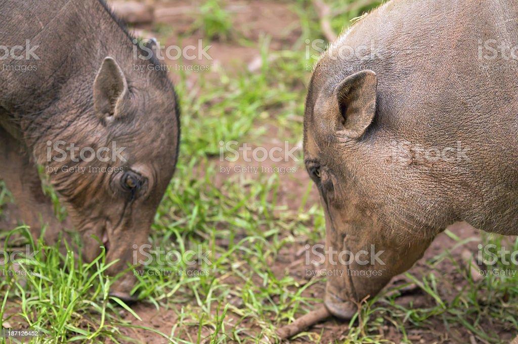 Babirusa female and piglet stock photo