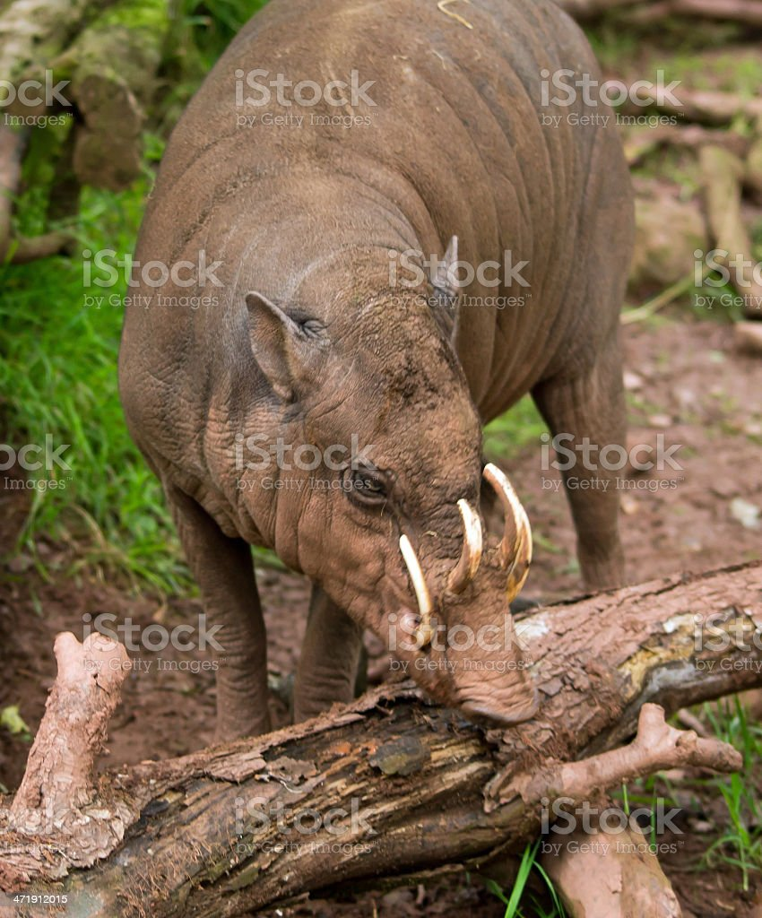 Babirusa male stock photo