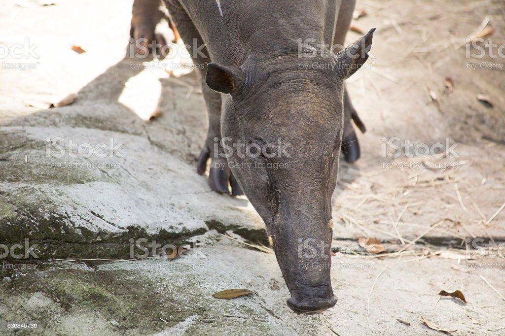 Babirusa stock photo