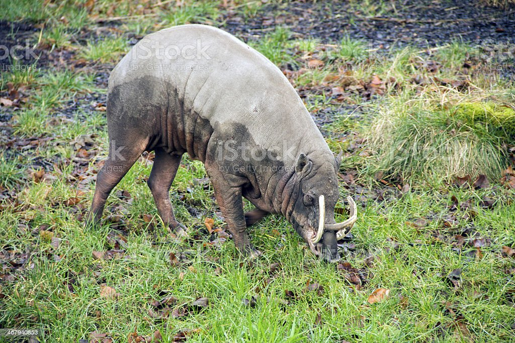 babirusa pig stock photo