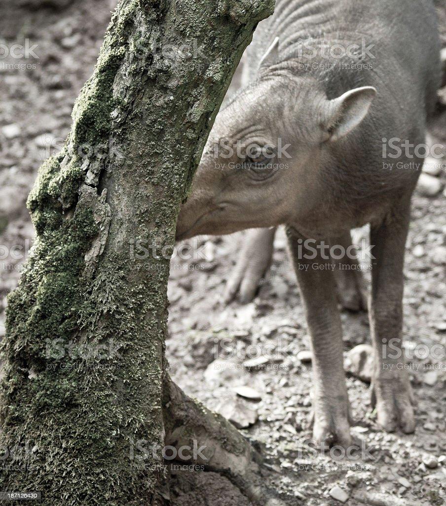 Babirusa piglet stock photo