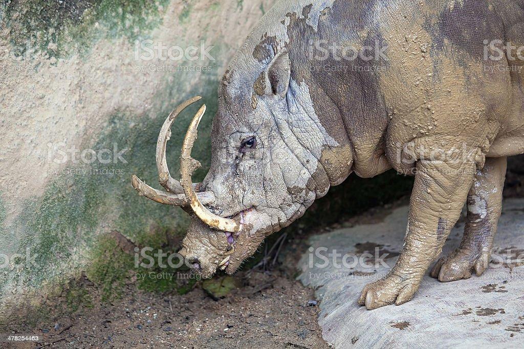 Babirusa Wild Boar Closeup stock photo