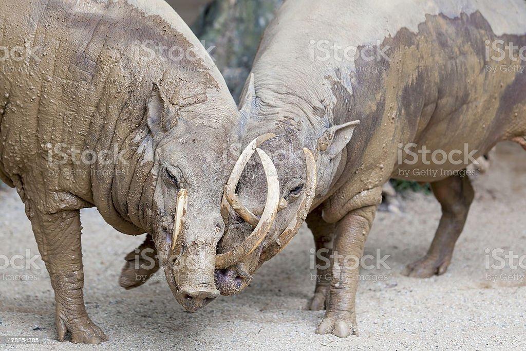 Babirusa Wild Boar Pair Snuggling stock photo