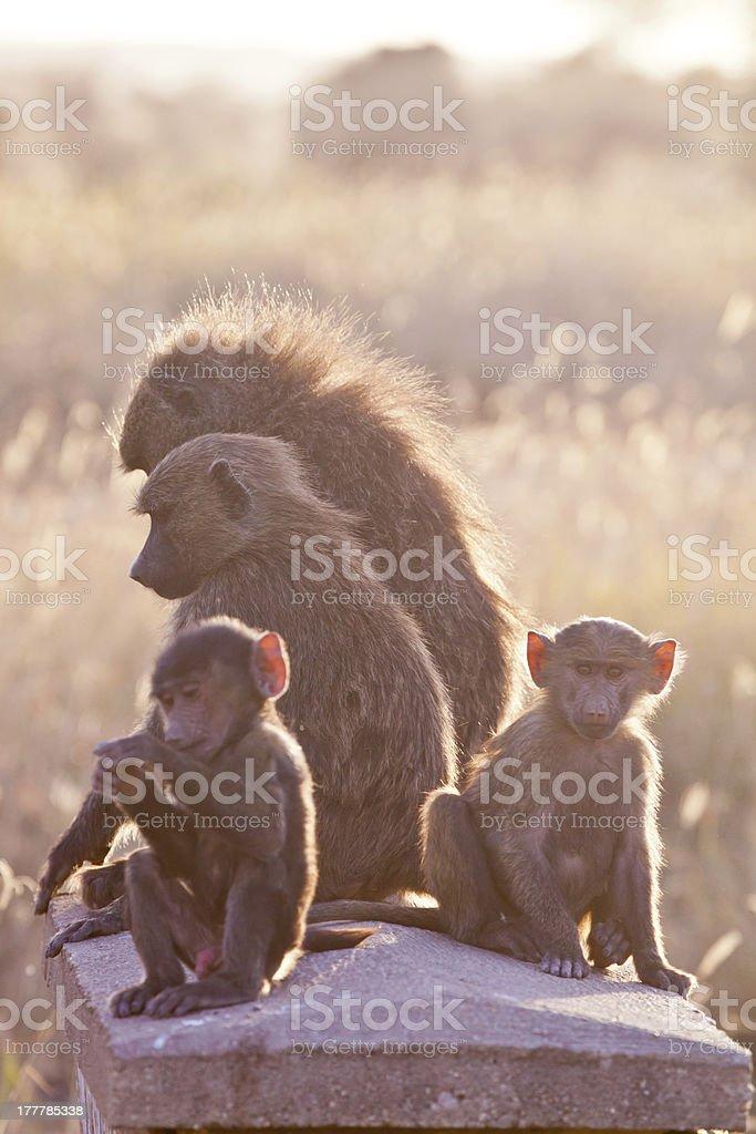 Babon Family stock photo
