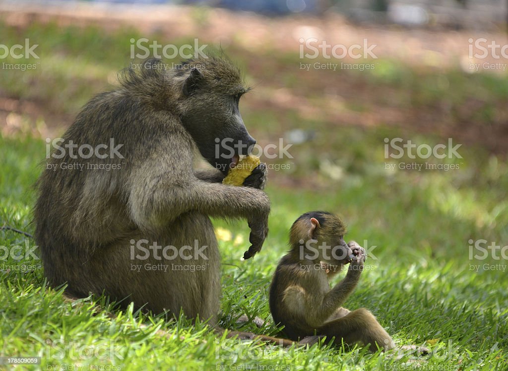 Baboon, Africa stock photo