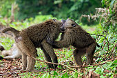 Baboon Babies Fighting