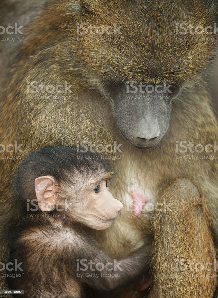 Baboon Baby Resting Close To Its Mom royalty-free stock photo