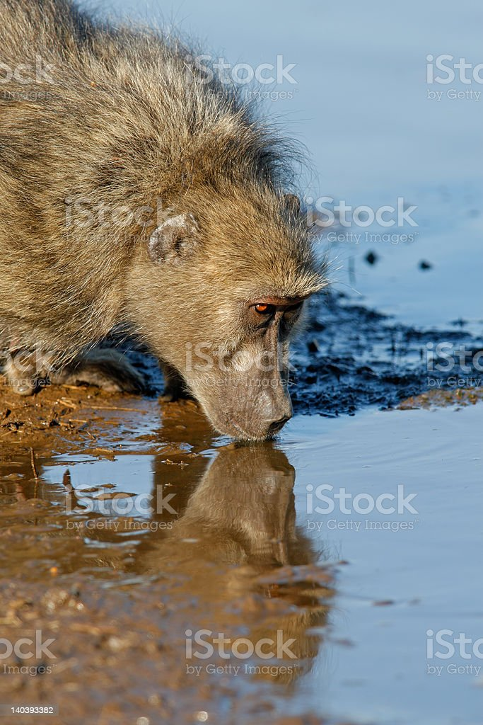 Baboon drinking royalty-free stock photo