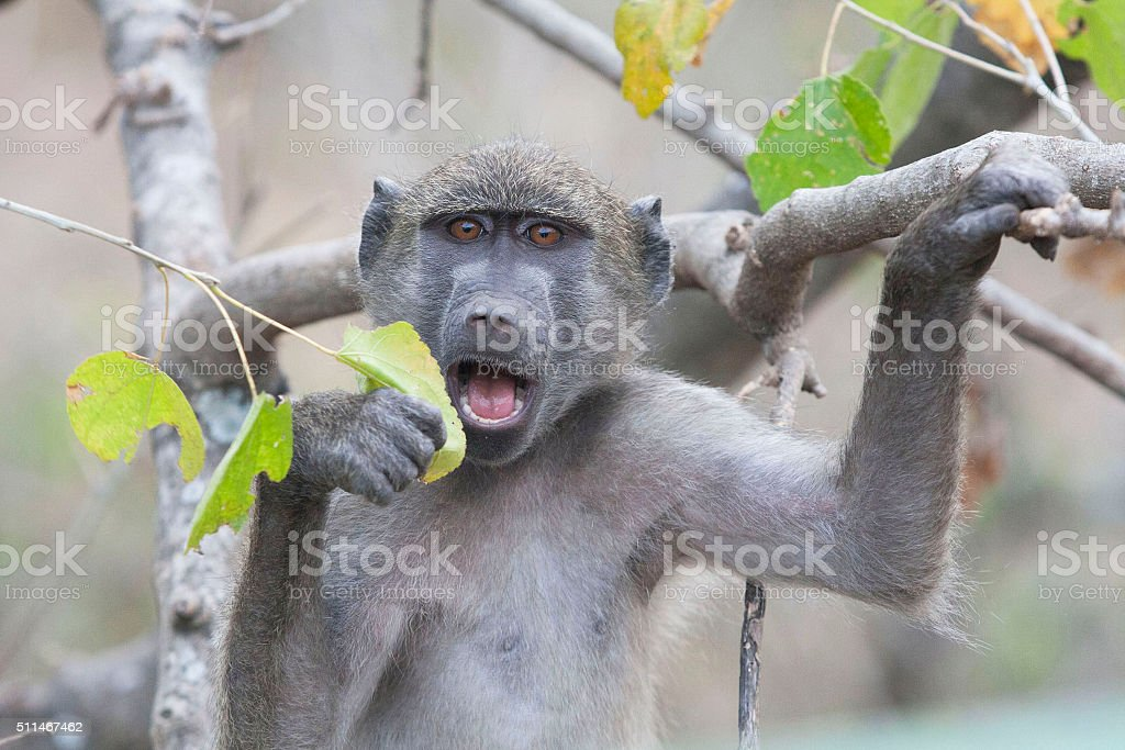 Baboon Eating Leaf stock photo