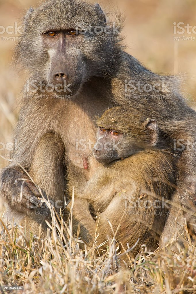 Baboon family play to strengthen bonds and having fun nature stock photo