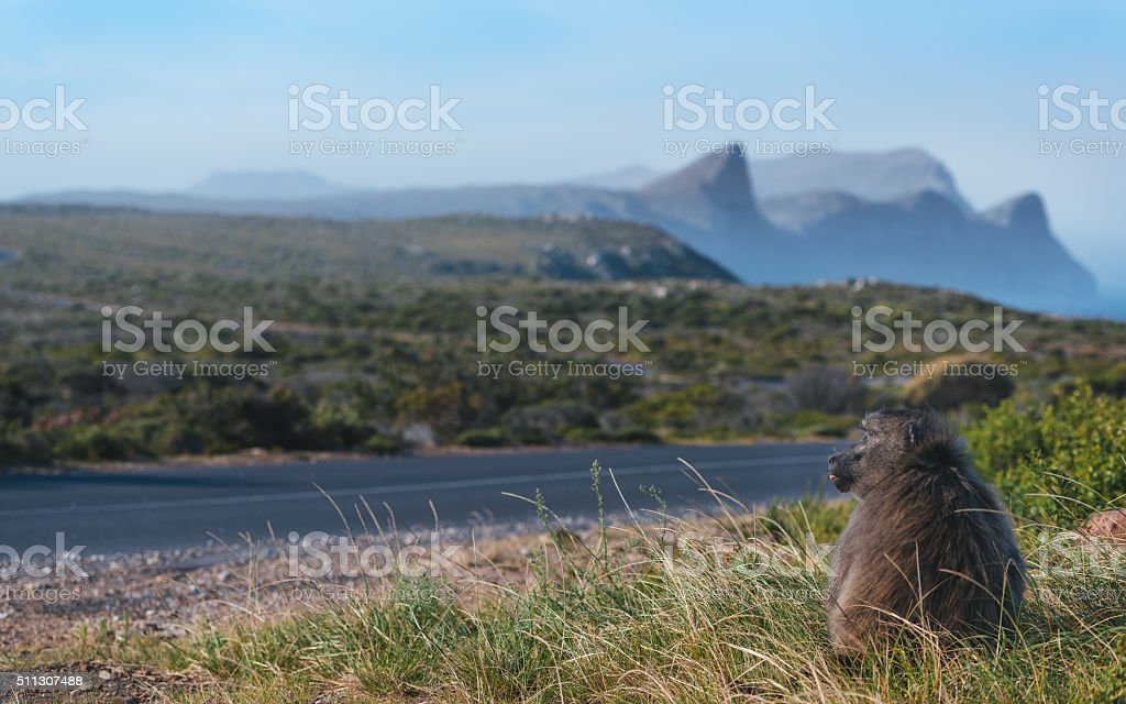 Baboon in South Africa stock photo