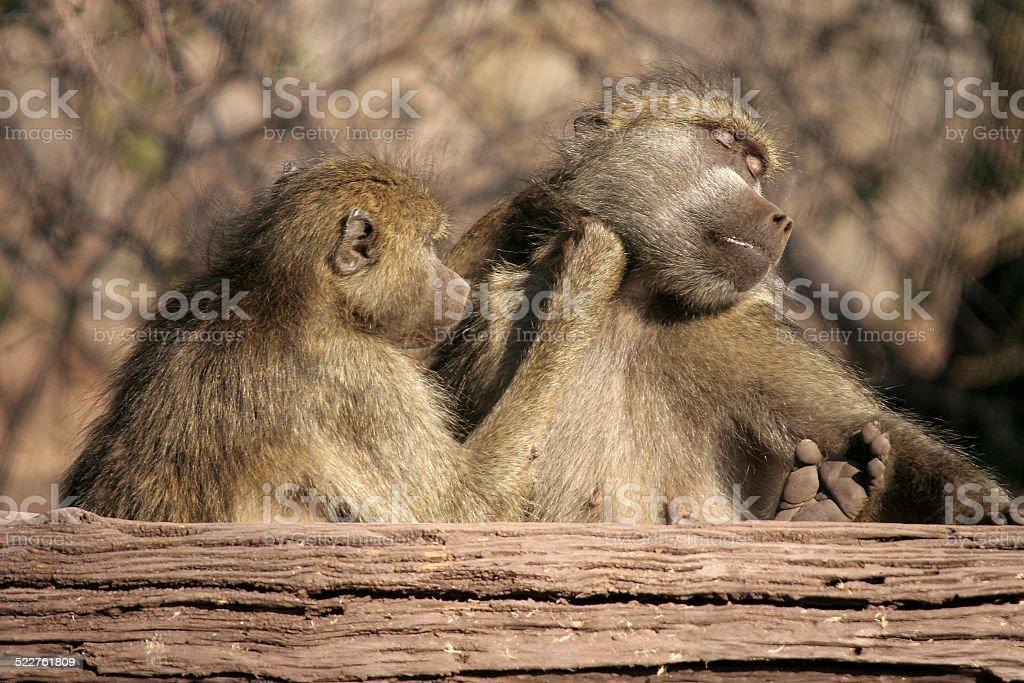 Baboon love stock photo