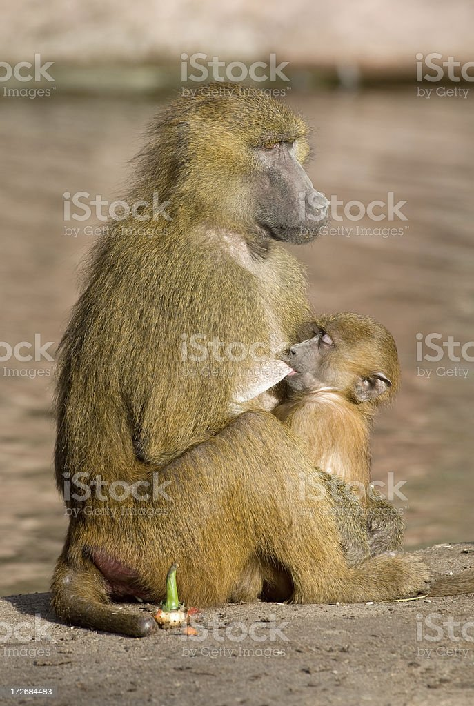 Baboon Mama And Baby royalty-free stock photo