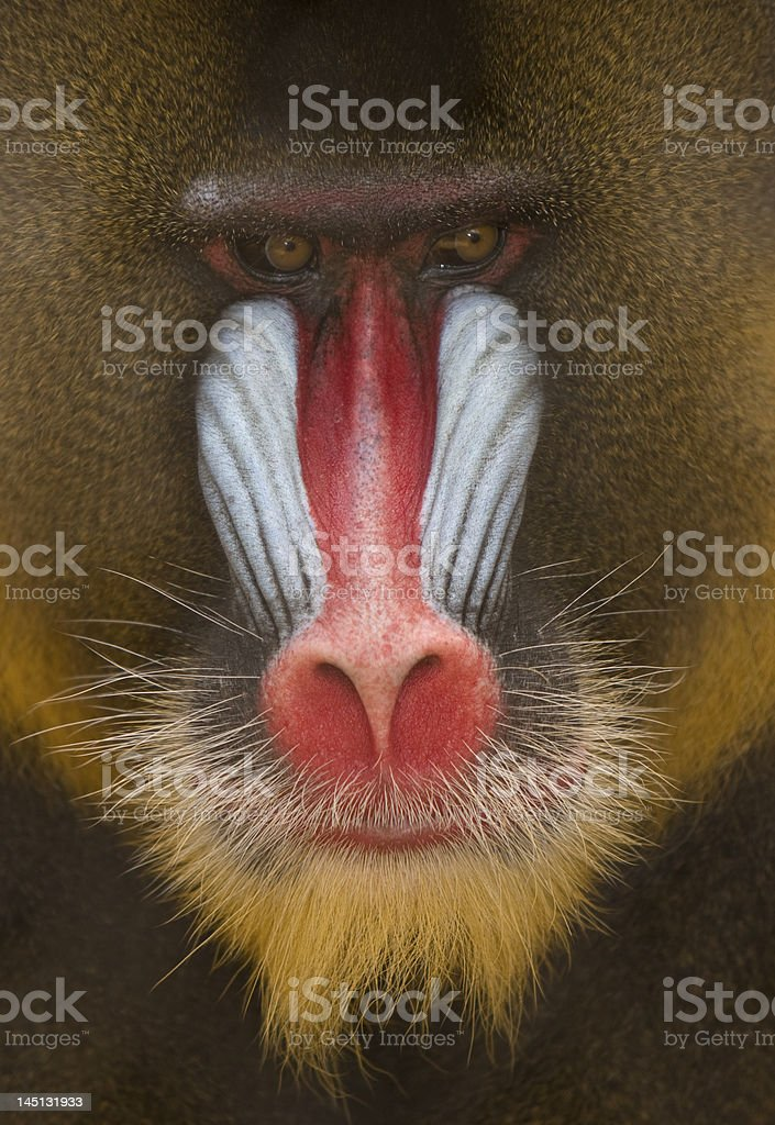 Baboon, Mandrill, with Colorful Face and Fir stock photo