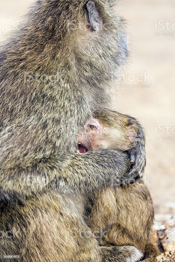 Baboon mother and baby - just like human royalty-free stock photo