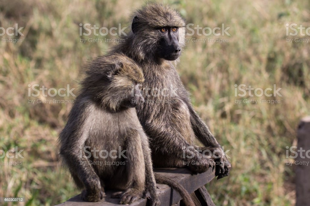Baboon mother and baby on wooden railing in Serengeti. stock photo