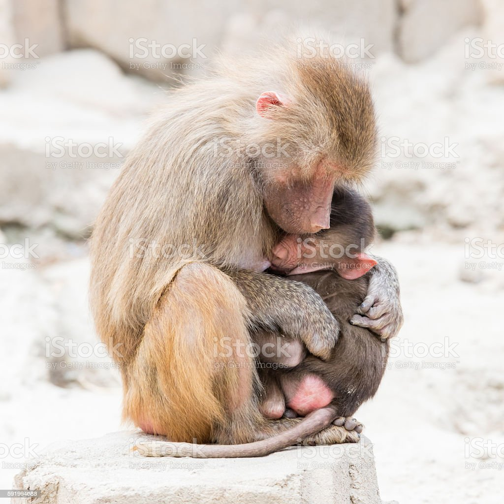 Baboon mother and her little one stock photo