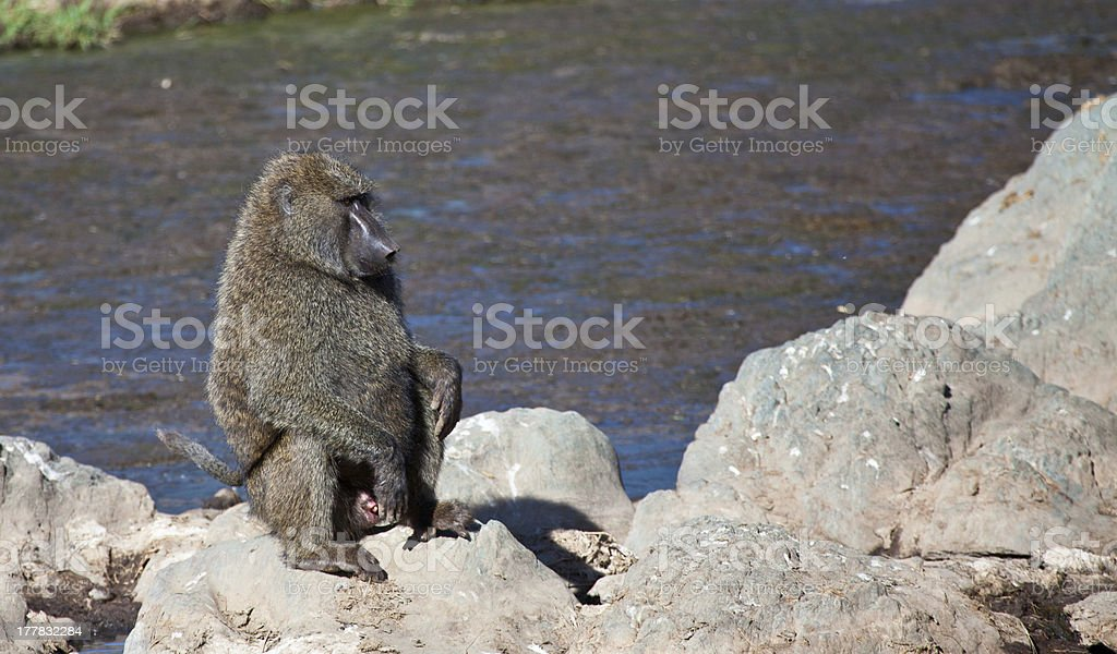 Baboon on a rock stock photo