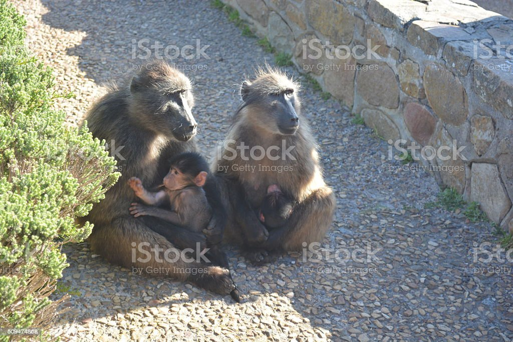 Baboon Pavian royalty-free stock photo