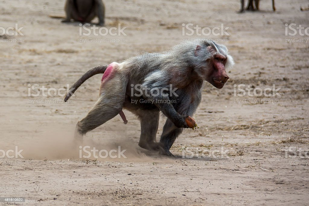 Baboon picking up fruit from ground stock photo