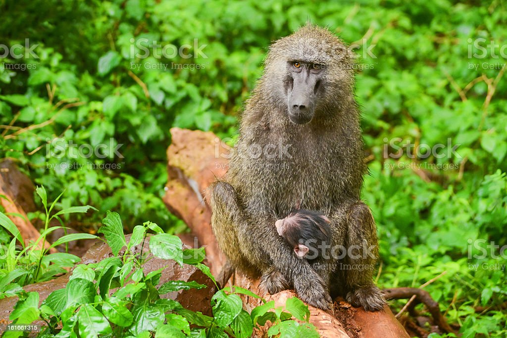 Baboon royalty-free stock photo
