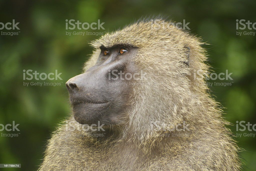Baboon royalty-free stock photo