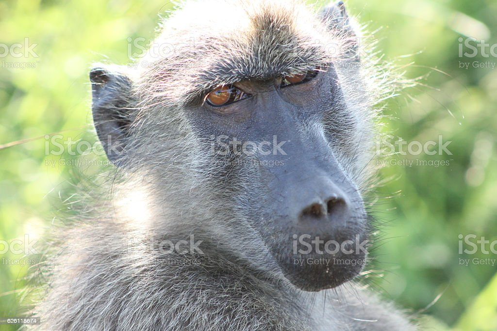 Baboon (South Africa) stock photo