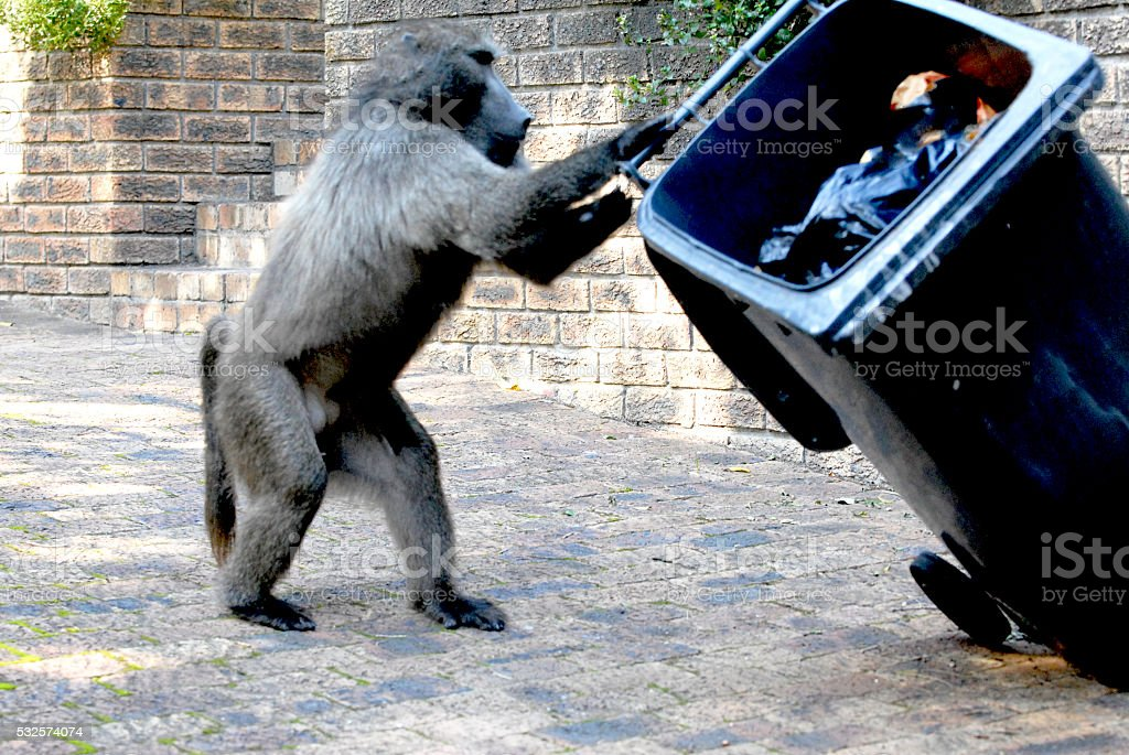 Baboon pulls over a garbage bin in the street stock photo