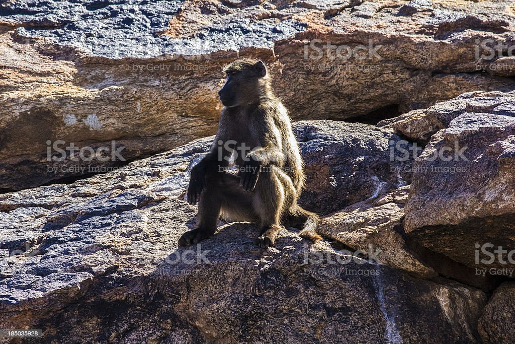 baboon sitting on a rock stock photo