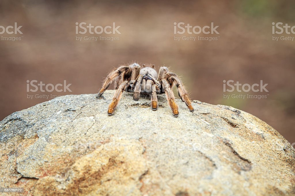 Baboon spider on a rock. stock photo