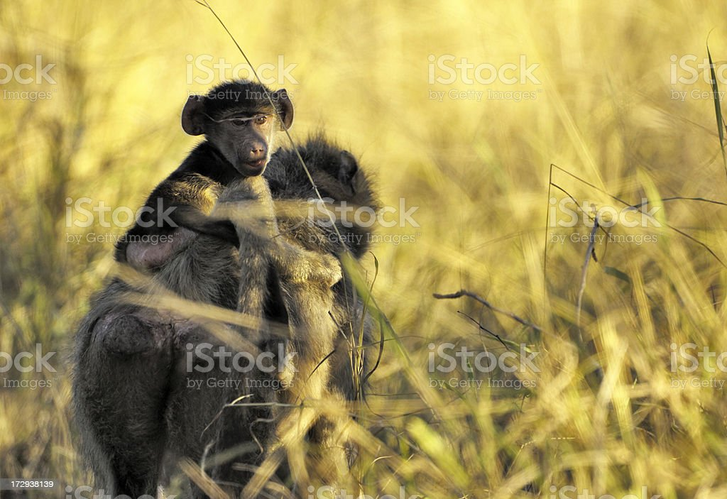 Baboon with her puppy stock photo