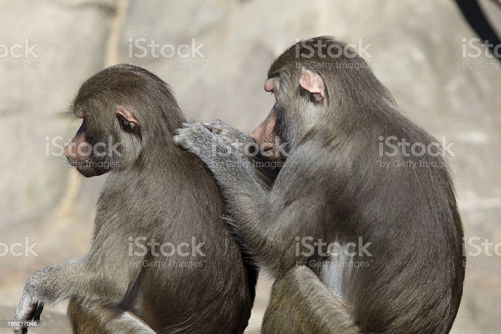 Baboons delousing each other stock photo
