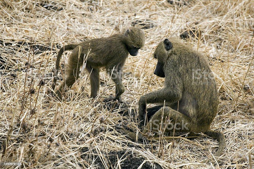 baboons trouvé quelque chose photo libre de droits
