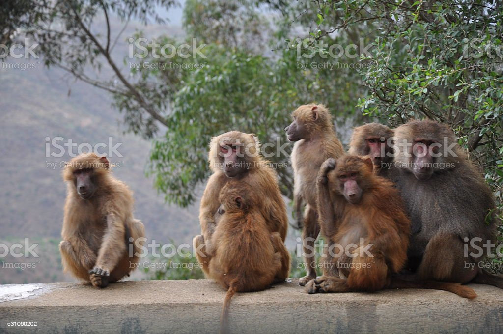 Baboons in Eritrea stock photo