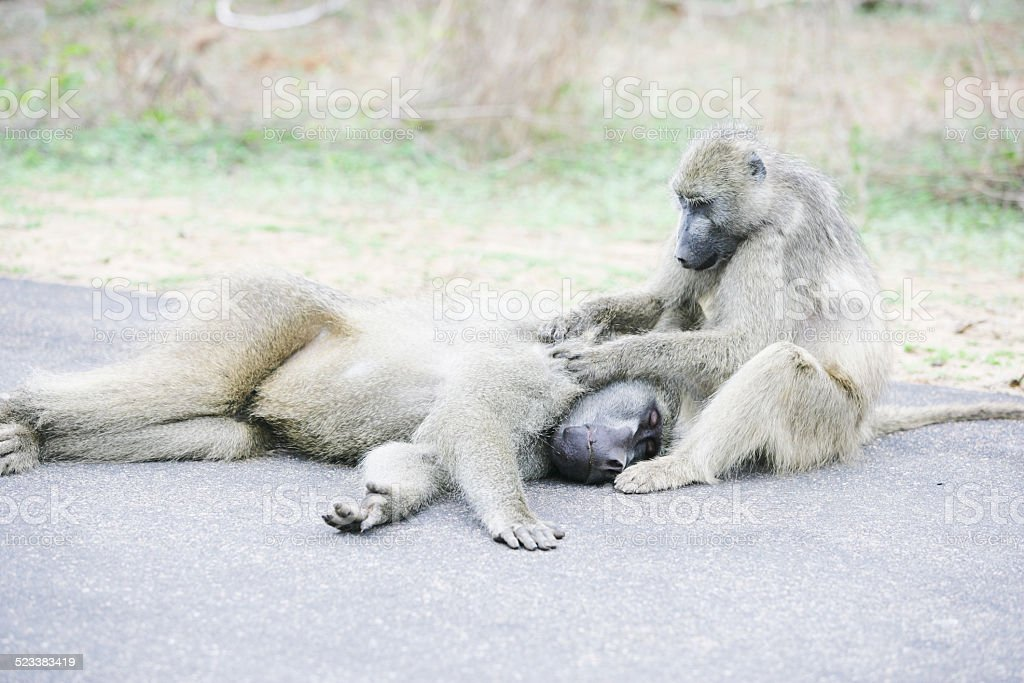Baboons in Kruger national park stock photo