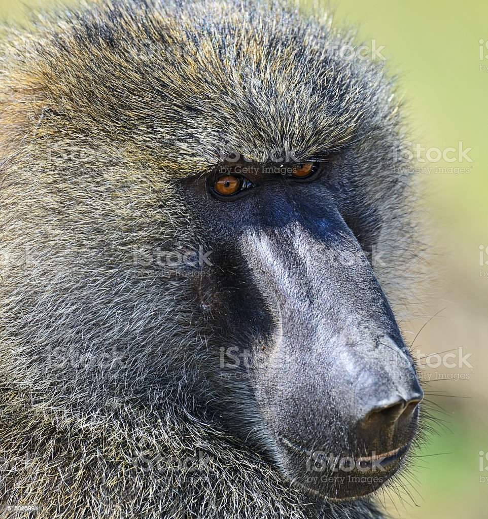 Baboons in the savannah stock photo