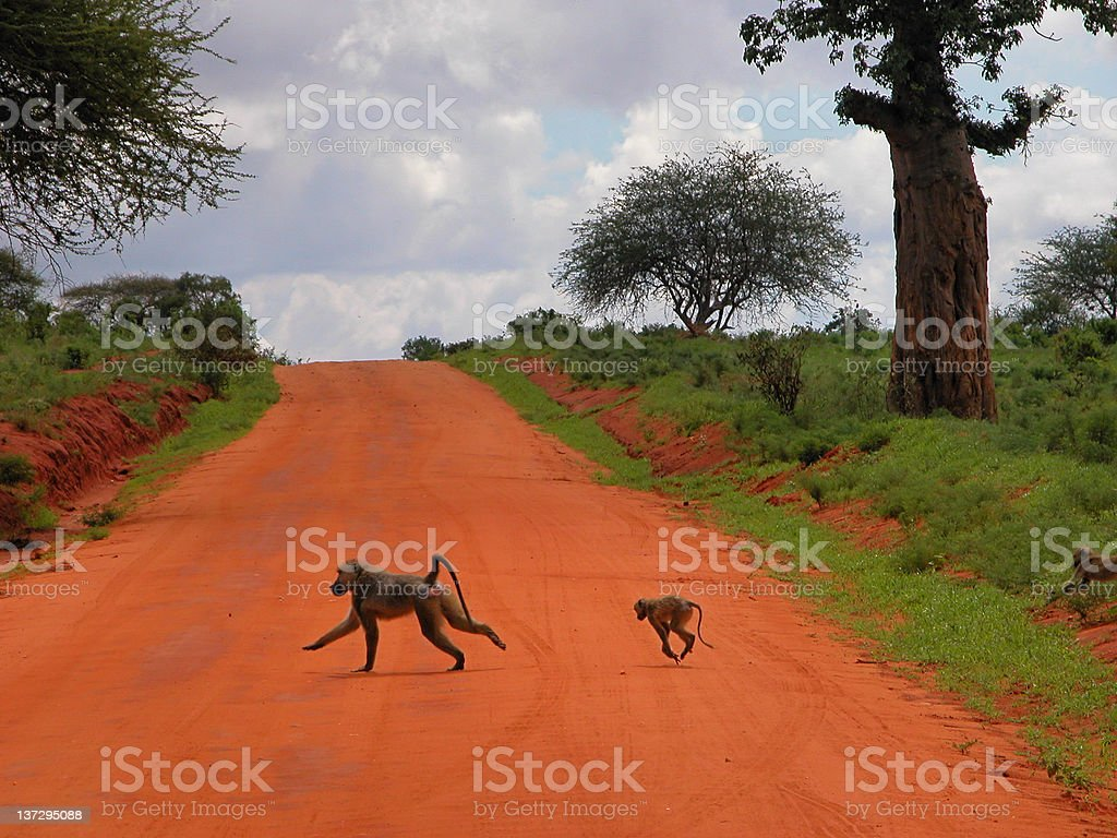 Baboons on the road royalty-free stock photo