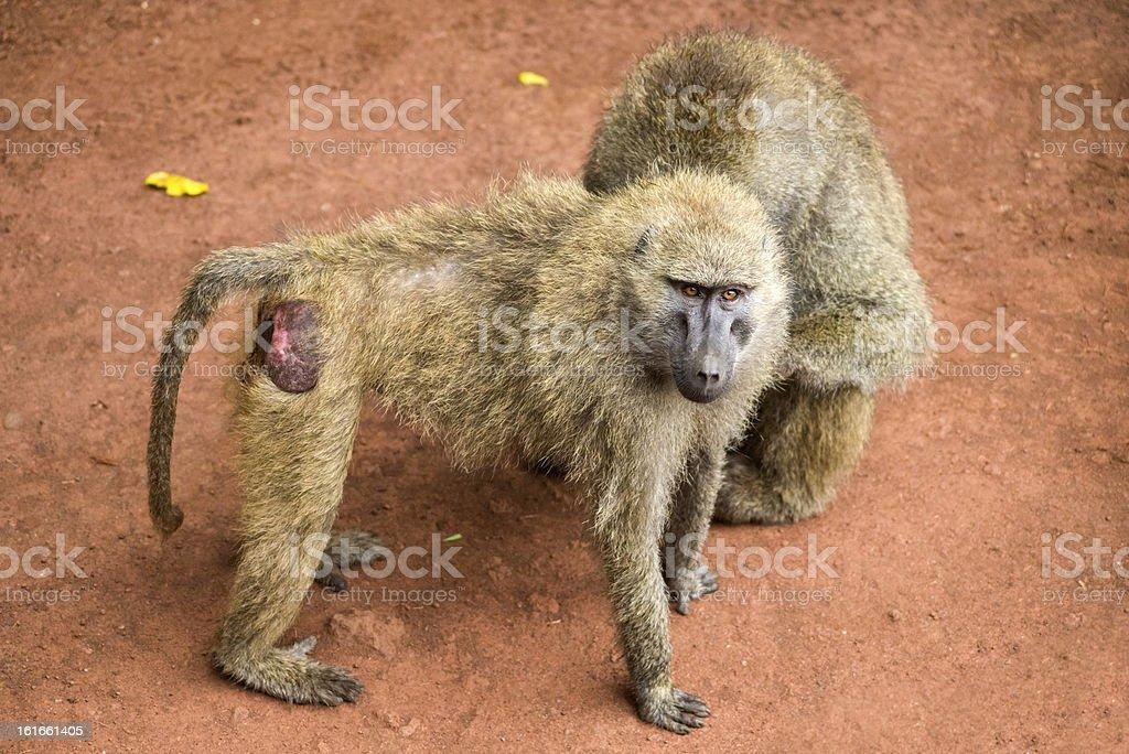 Baboons royalty-free stock photo