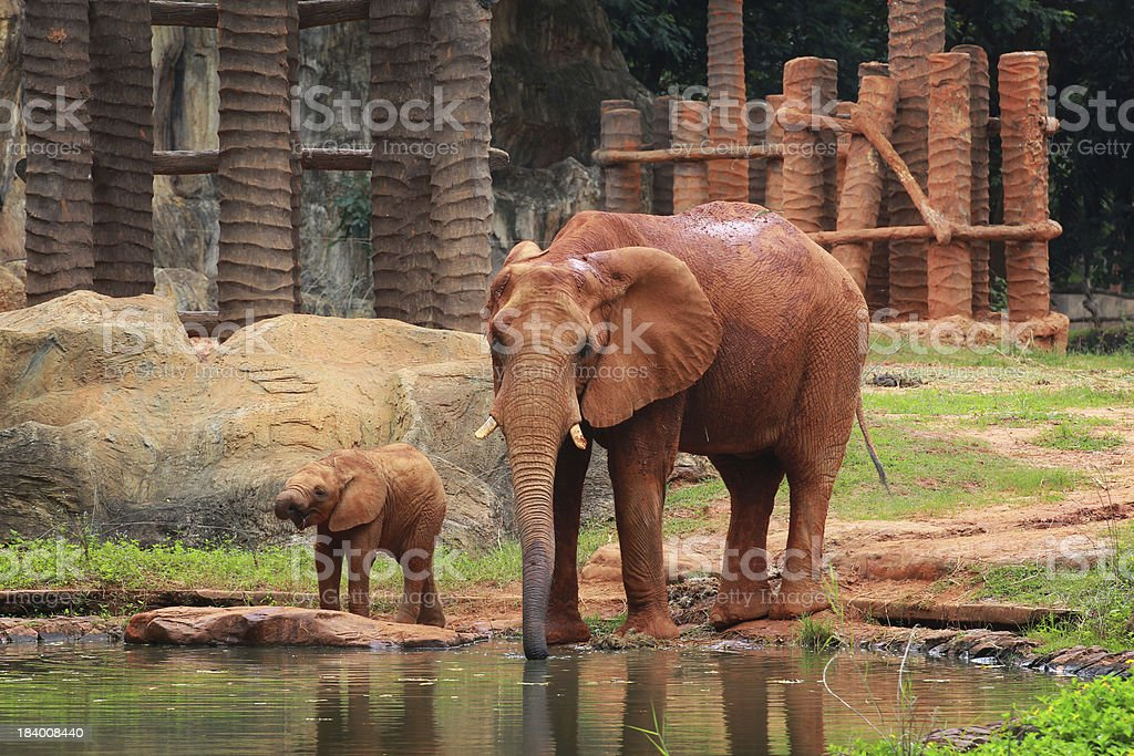 baby african elephant calf drink  its father stock photo