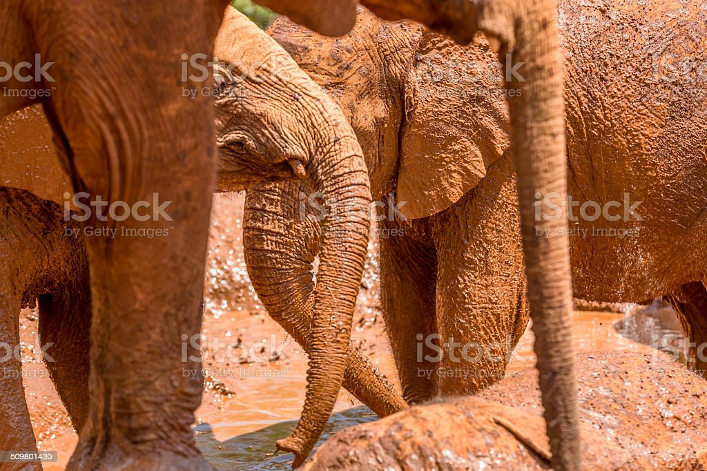 Baby African Elephant Happy in the Mud stock photo