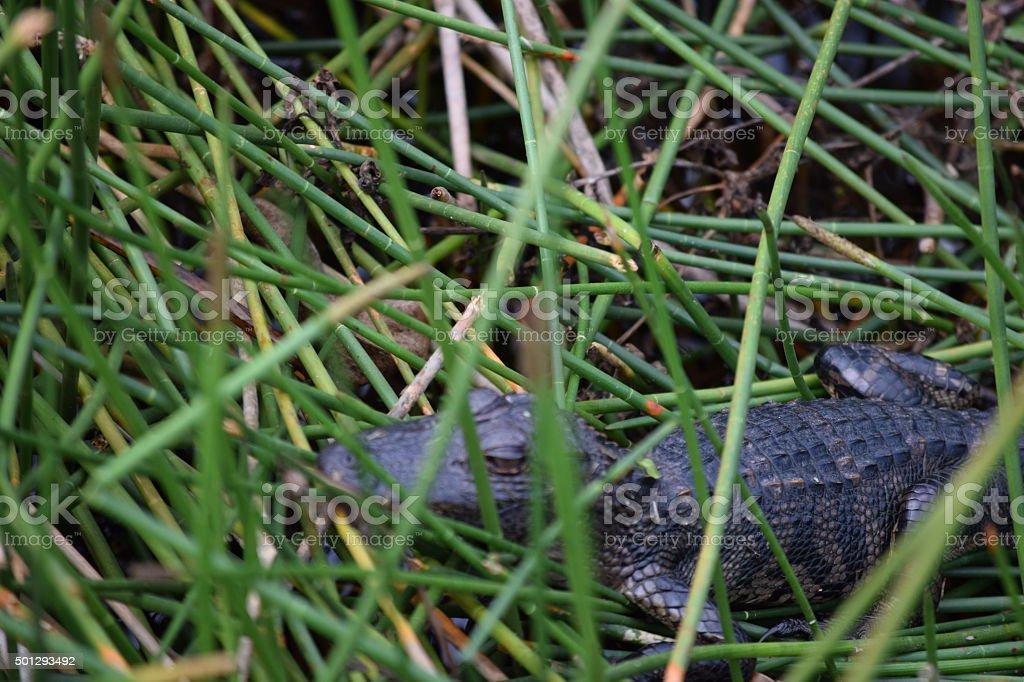 Baby Alligator Basking in Wetlands stock photo