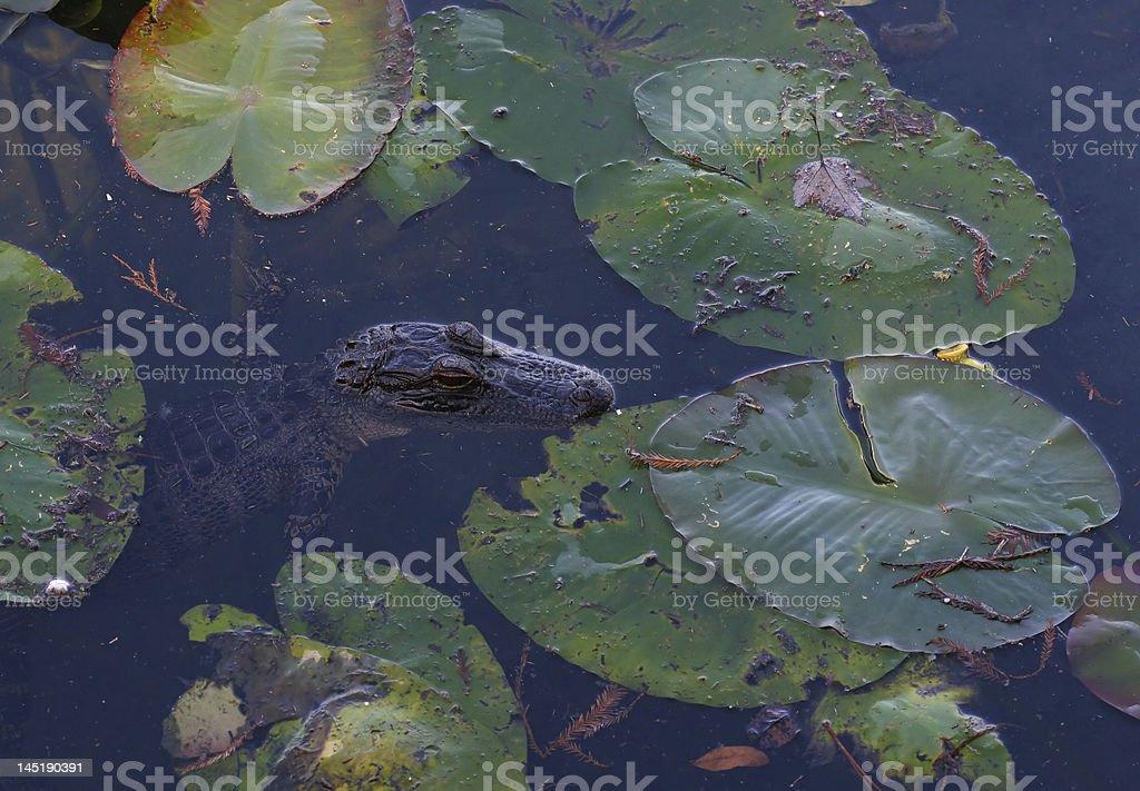 Bebé de cocodrilo foto de stock libre de derechos