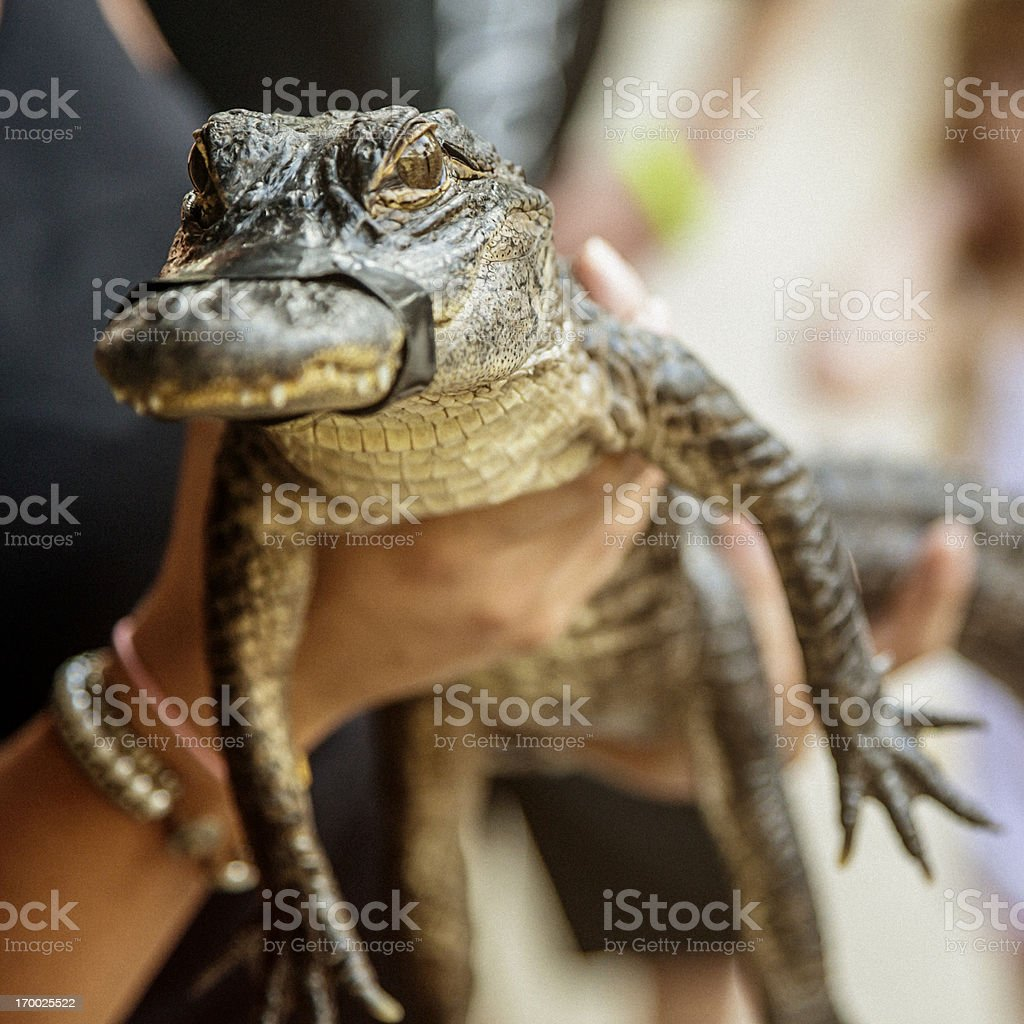 Baby alligator stock photo