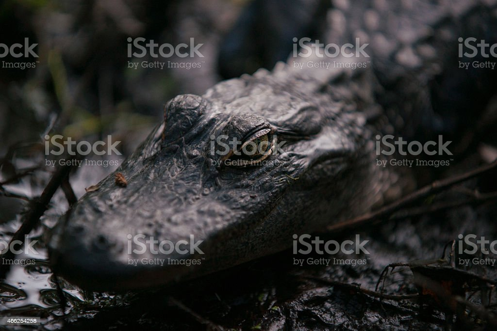 BAby Alligator stock photo