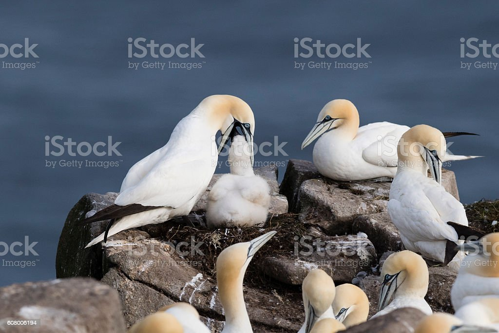 Baby and Adult Gannet, Northern Gannet, Morus Bassanus, colony stock photo