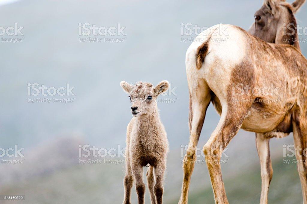 Baby and mama bighorn sheep stock photo