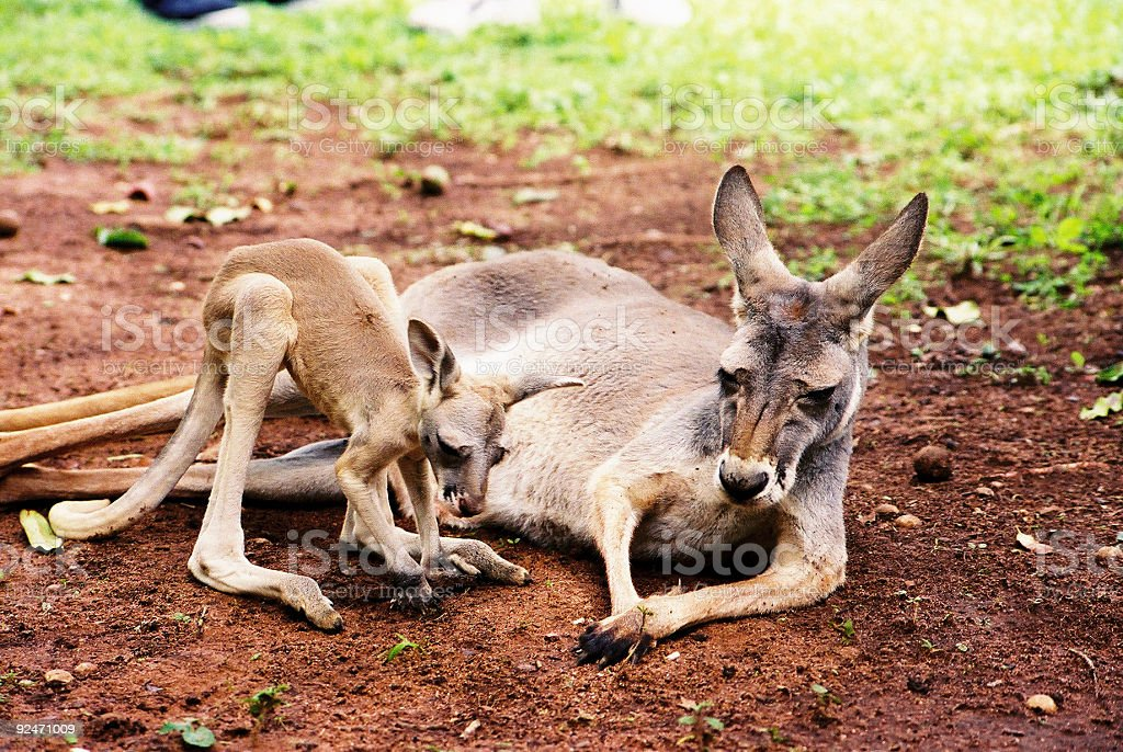 Baby and Mother Kangaroo royalty-free stock photo