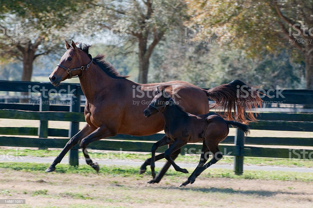Baby and Mother mare horse running in farm pasture stock photo