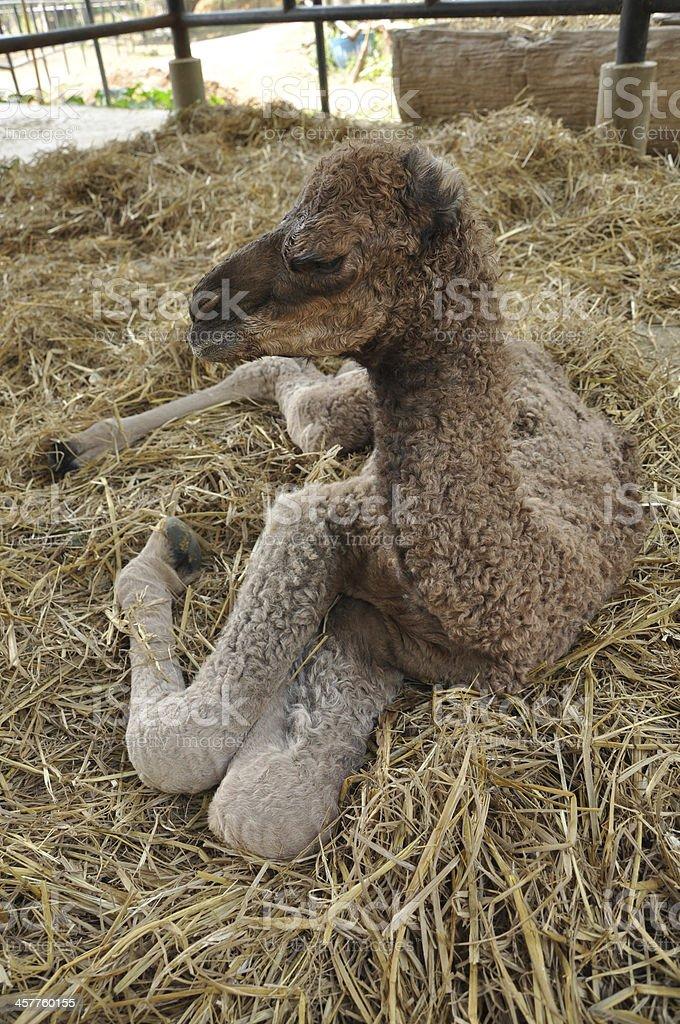 baby arabian camel royalty-free stock photo