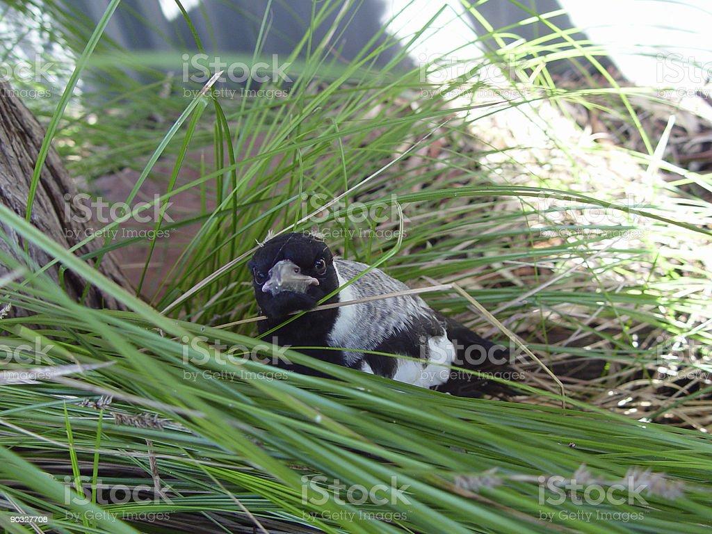 Baby Australian magpie stock photo